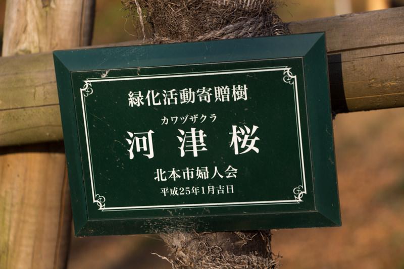 IMG_1100-taokaosakura-park-kawazuzakura