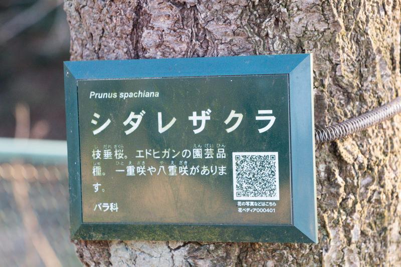 IMG_1139-taokaosakura-park-kawazuzakura