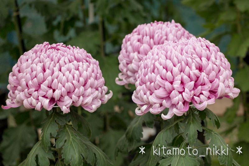 北本まつり「きくまつり」2013 – (4)圧巻。立ち並ぶ菊の花」