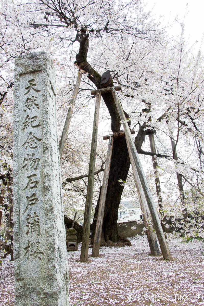 【2015】「石戸蒲ザクラ」を見てきた 日本五大桜のひとつ