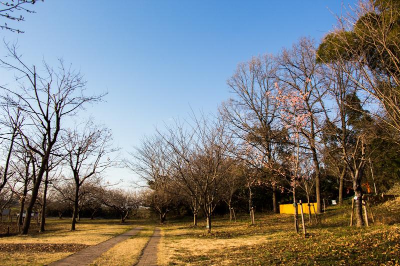 IMG_1061-taokaosakura-park-kawazuzakura