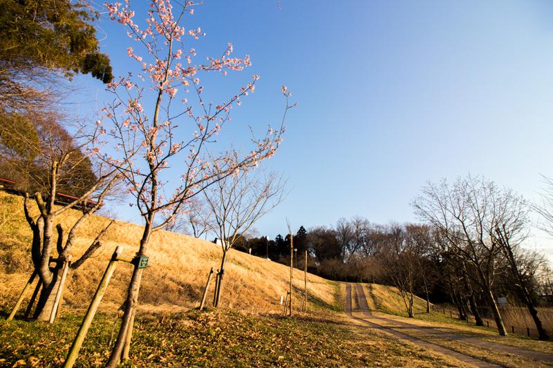IMG_1122-taokaosakura-park-kawazuzakura