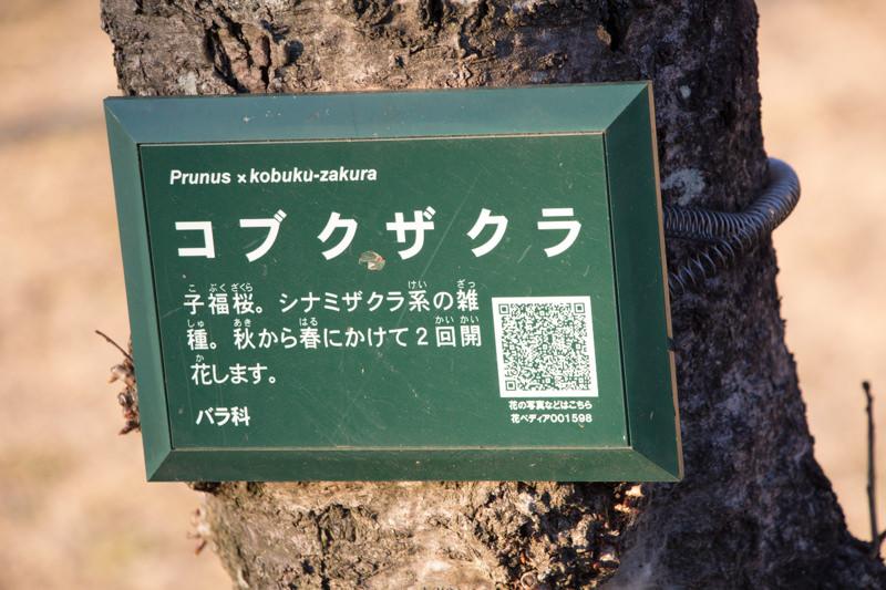 IMG_1140-taokaosakura-park-kawazuzakura
